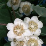 Цветение киви, май 1976 года, Калифорния, США