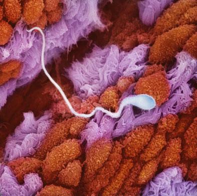 Сперматозоид в поиске слизистой оболочки женской яйцеклетки, перемещается по фаллопиевым трубам