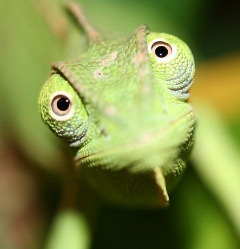Фотографии хамелеонов (32 штуки) (2)
