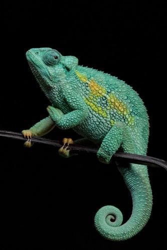 Фотографии хамелеонов (32 штуки) (10)