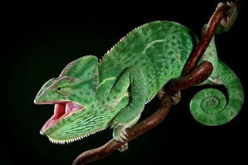 Фотографии хамелеонов (32 штуки) (11)