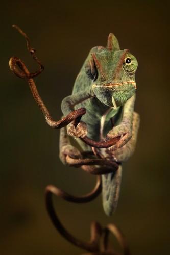 Фотографии хамелеонов (32 штуки) (14)