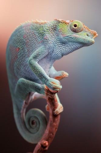 Фотографии хамелеонов (32 штуки) (15)
