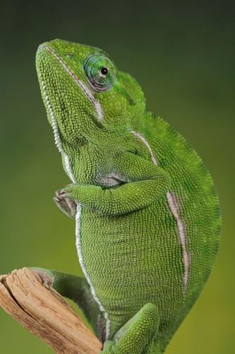 Фотографии хамелеонов (32 штуки) (16)