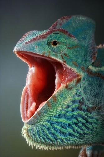 Фотографии хамелеонов (32 штуки) (17)
