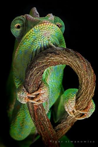 Фотографии хамелеонов (32 штуки) (18)