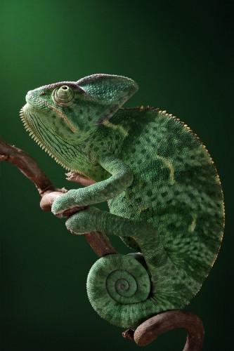 Фотографии хамелеонов (32 штуки) (19)