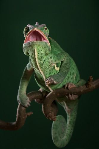 Фотографии хамелеонов (32 штуки) (20)