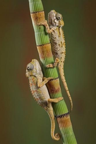 Фотографии хамелеонов (32 штуки) (22)