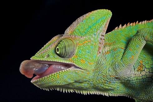 Фотографии хамелеонов (32 штуки) (23)