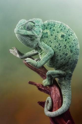 Фотографии хамелеонов (32 штуки) (8)