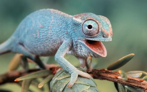 Фотографии хамелеонов (32 штуки) (1)