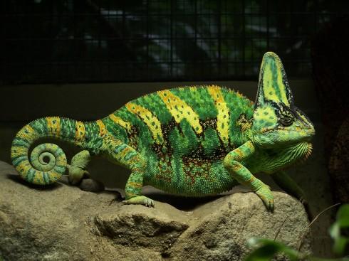 Фотографии хамелеонов (32 штуки) (32)