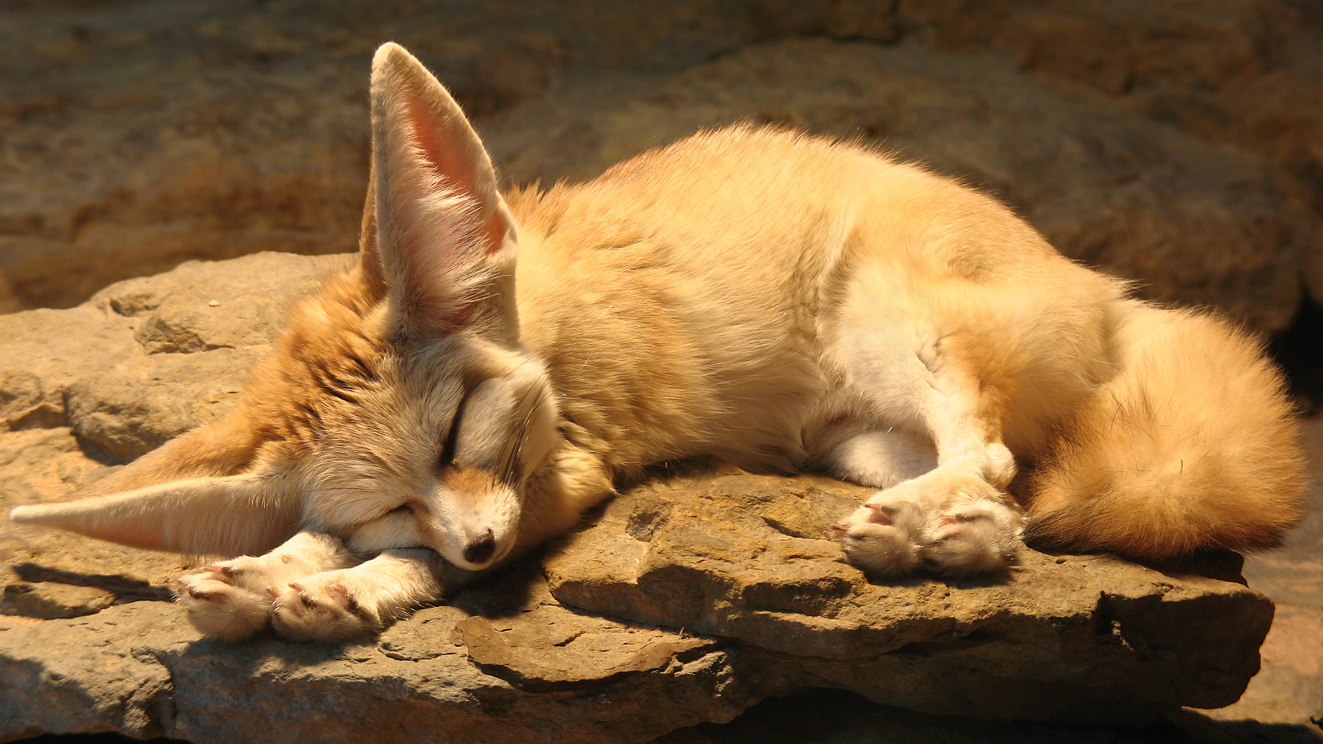108 best Fennec fox images on Pinterest | Fennec fox, Foxes and ...