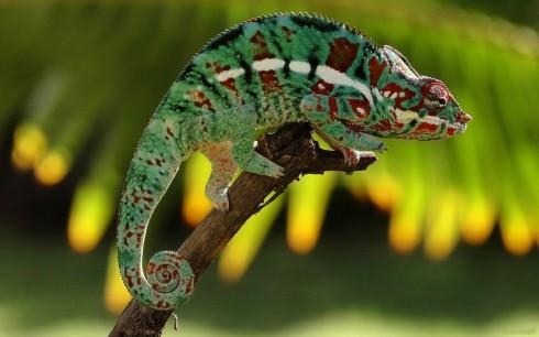 Фотографии хамелеонов (32 штуки) (31)