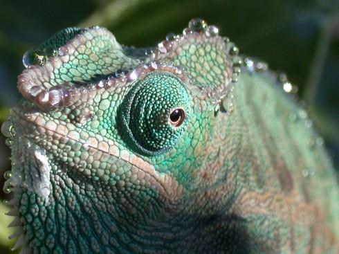 Фотографии хамелеонов (32 штуки) (28)