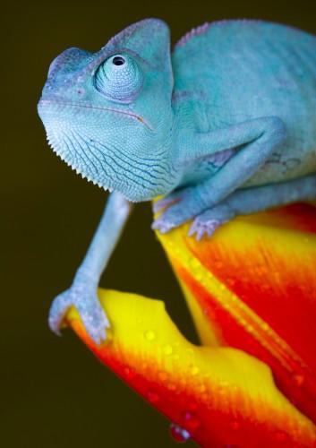 Фотографии хамелеонов (32 штуки) (30)